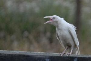 a white raven